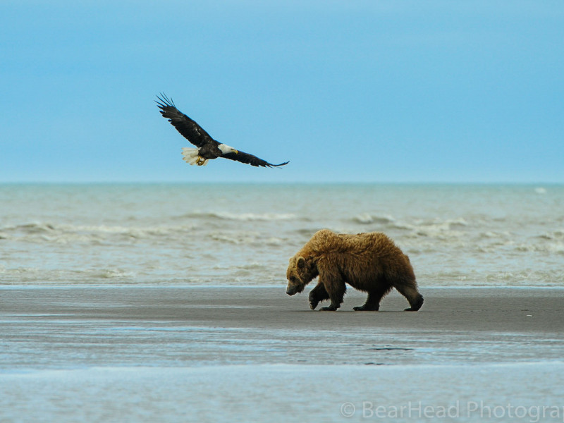 Brown Bear Photography Workshop in Alaska