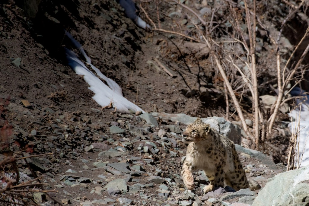 Snow Leopard Expedition: 11 Days in Ladakh