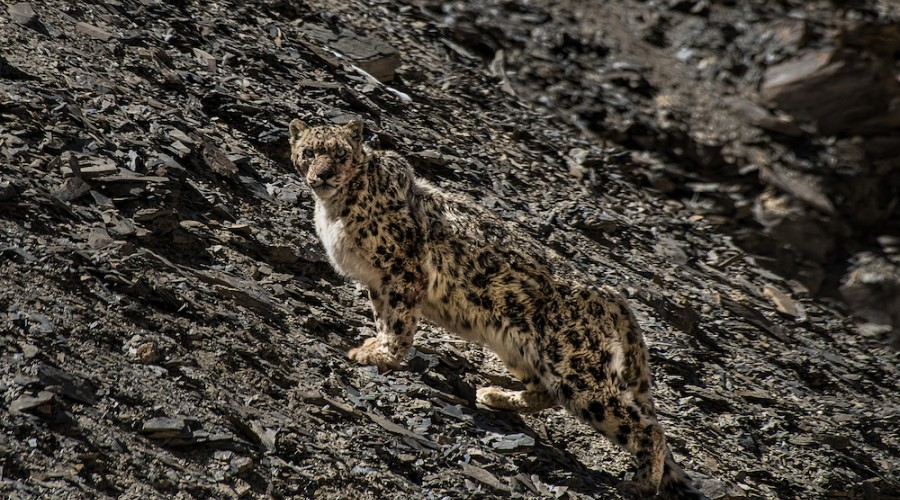 Snow Leopard Expedition: 11 Days in Ladakh image