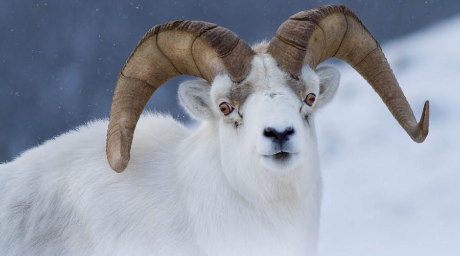 Dall Sheep & Bald Eagles Photo Tour (Yukon & Alaska) image