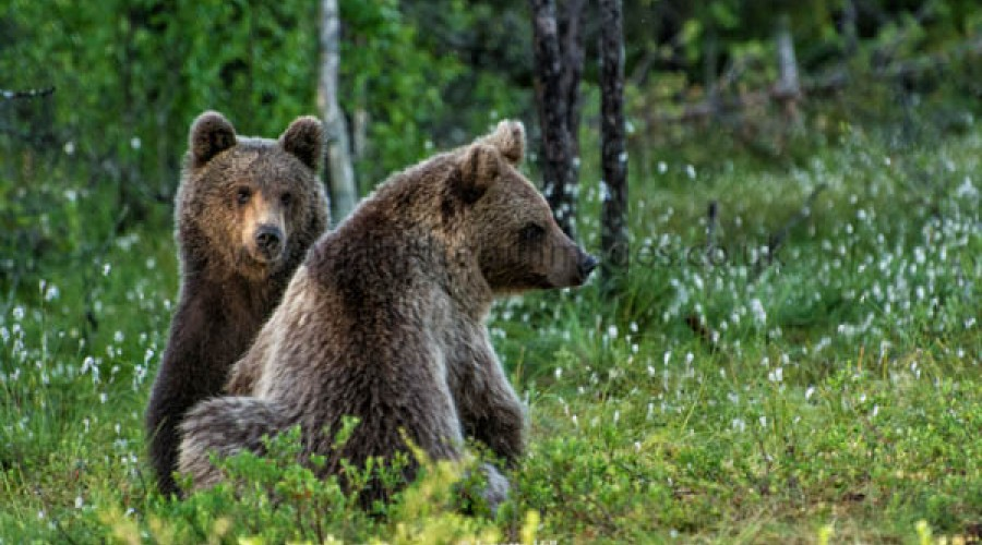 Brown Bear Photography Hide in Finland image