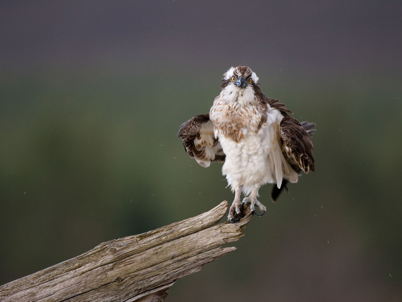 Osprey Photography Hide in Cairngorms, Scotland