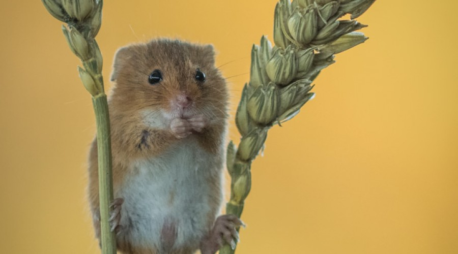 Harvest Mouse and Reflection Pool Photo Workshop image