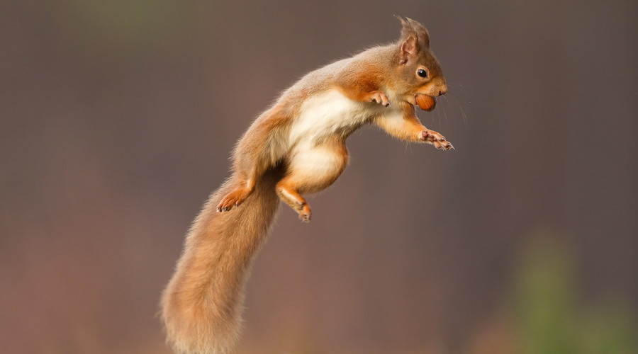 Red Squirrel Photography Hide in Cairngorms, Scotland image