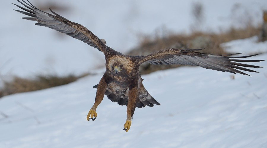 Golden eagles and winter birds photography image