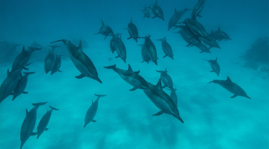 Dolphins in the Red Sea image