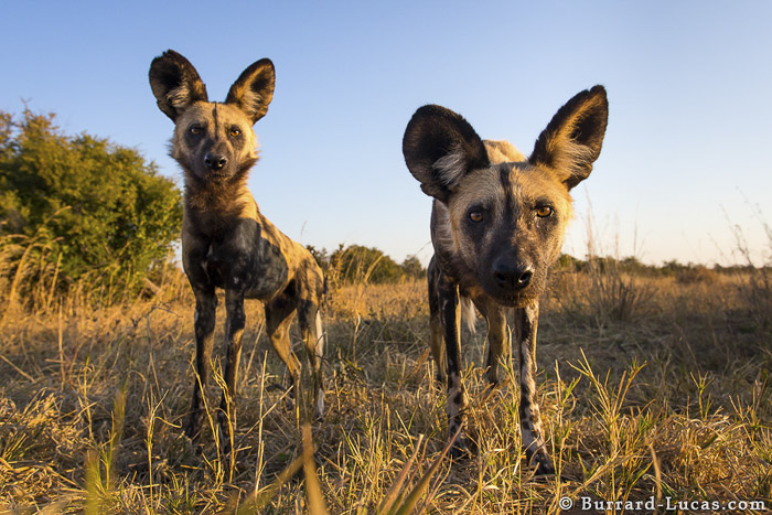 Two African Wild Dogs