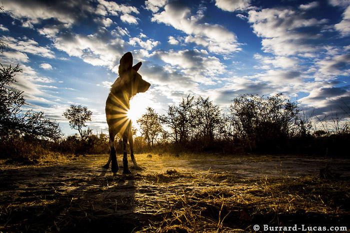 African Wild Dog Sunset