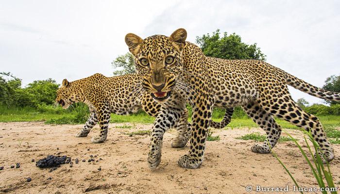 Fierce Leopard Snarl