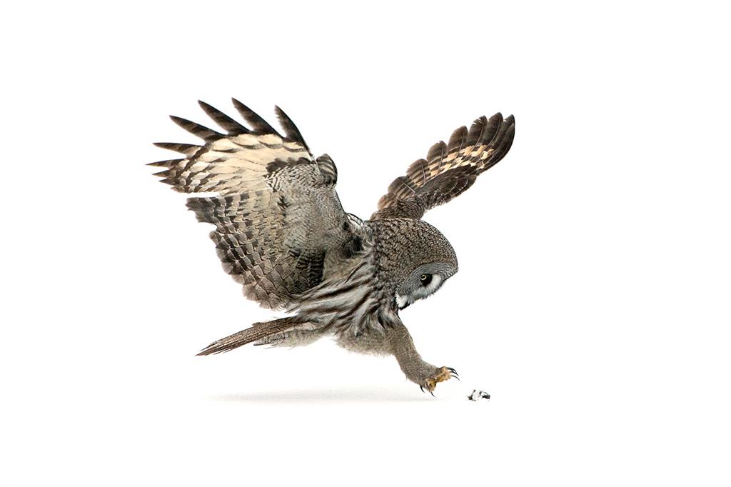 Great Grey Owl Vole