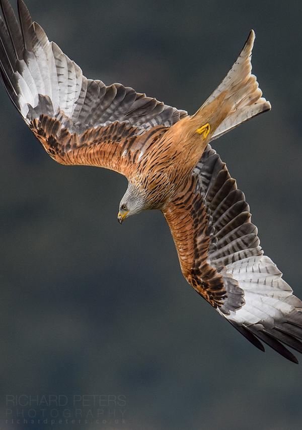 Red Kites in Flight