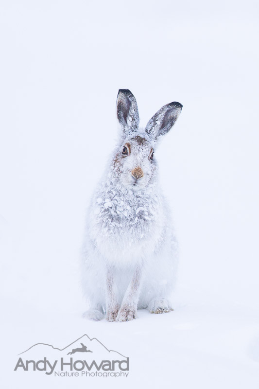 mountain hares in scotland