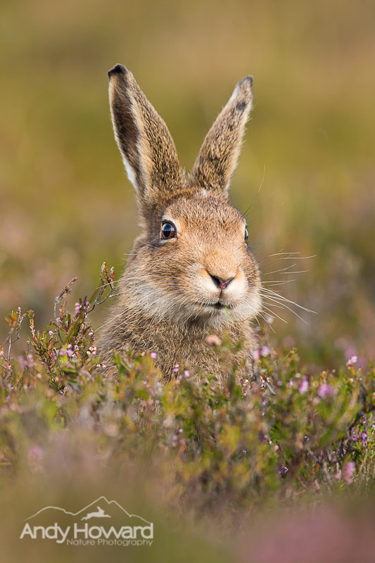 how to photograph hares