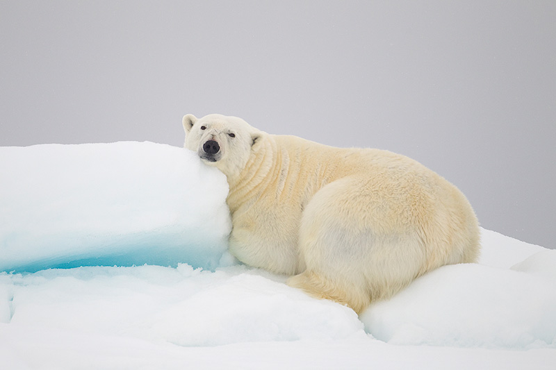 it's cool to cry peter cairns polar bear