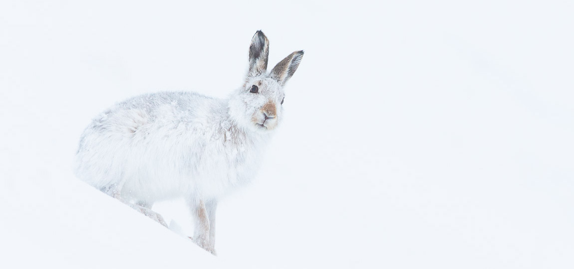 how to photograph mountain hares scotland