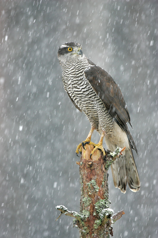 goshawk in snow peter cairns