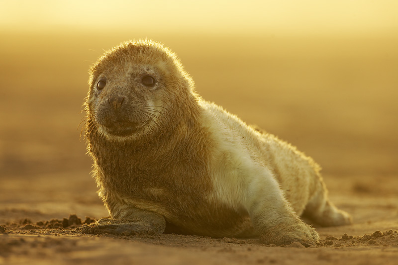 grey seal backlit mark hamblin