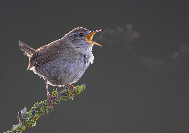 wren breathing
