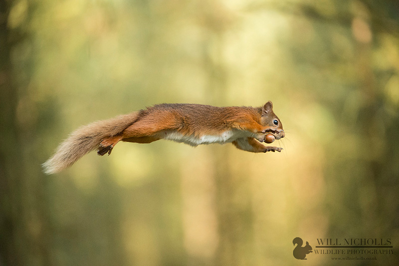 red squirrel will nicholls