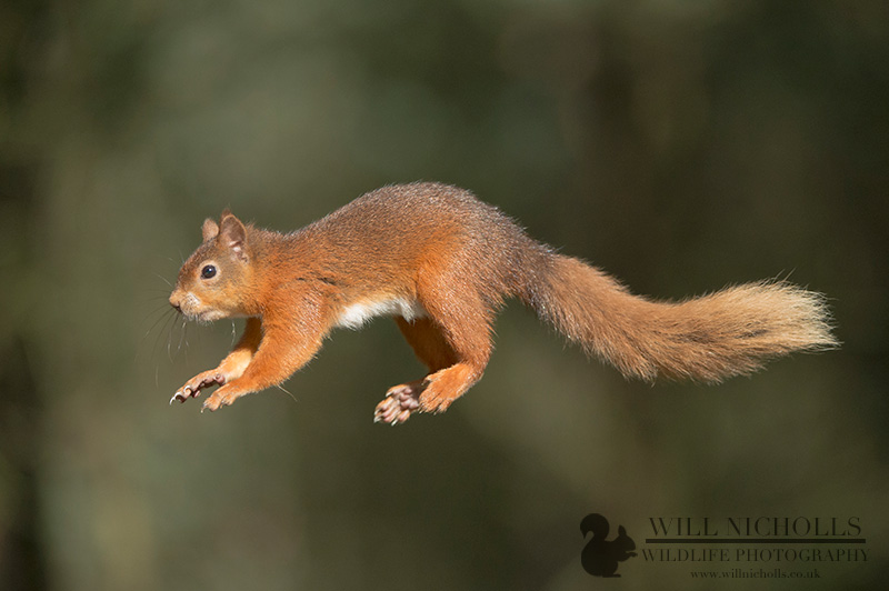 how to photograph red squirrel jumping