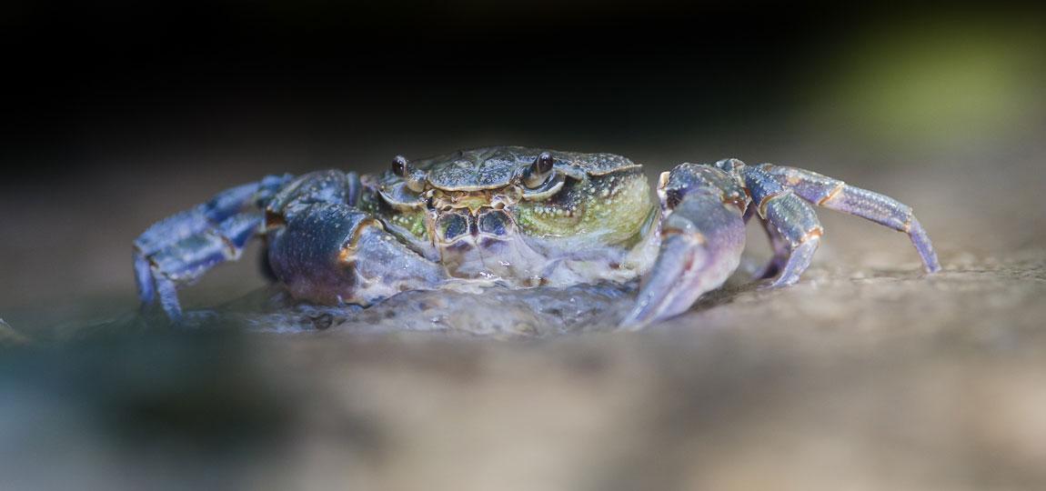 maltese freshwater crabs rare