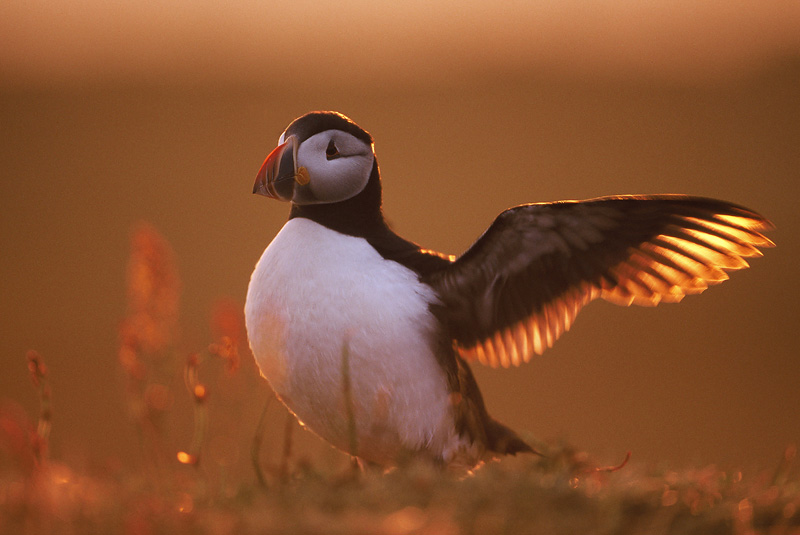 puffin backlit