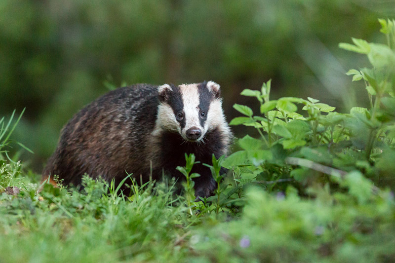 How to photograph badgers