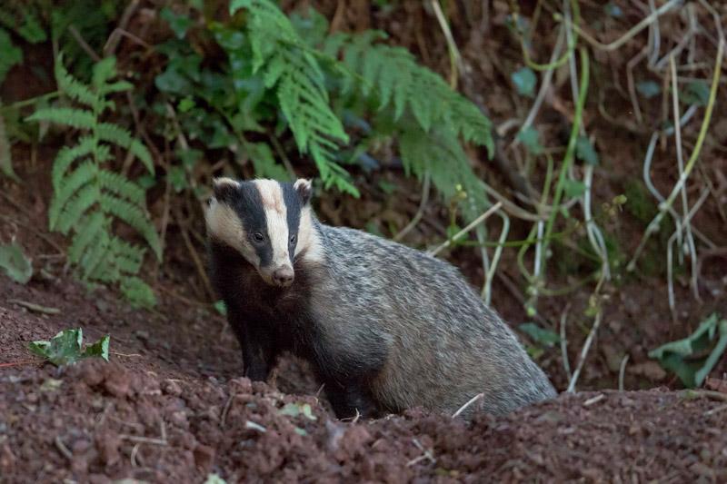 badger uk