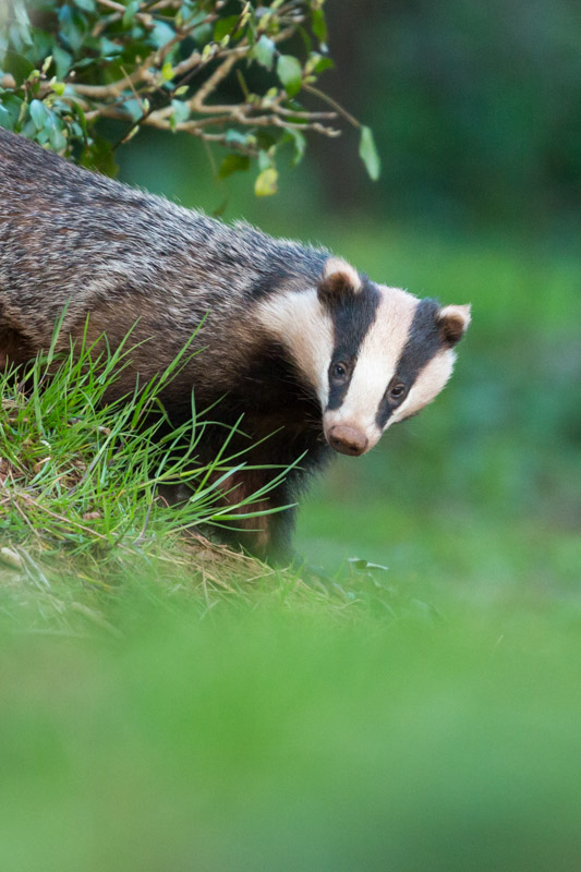 how to find badgers