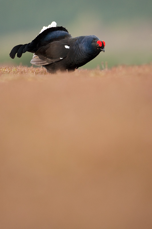 black grouse mark hamblin