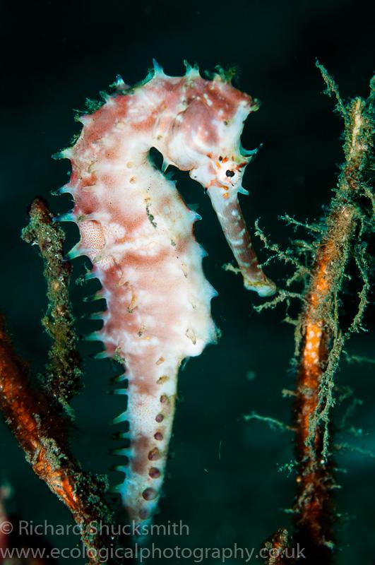 Thorny seahorse, Lambeh, Indonesia.