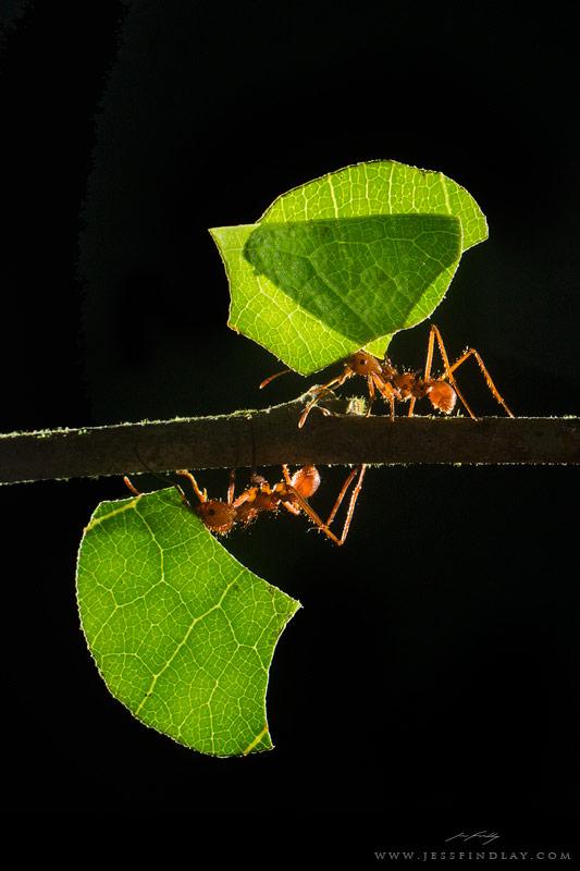 backlit ants wildlife flashgun