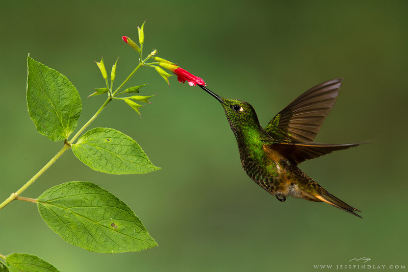 hummingbirds flashes