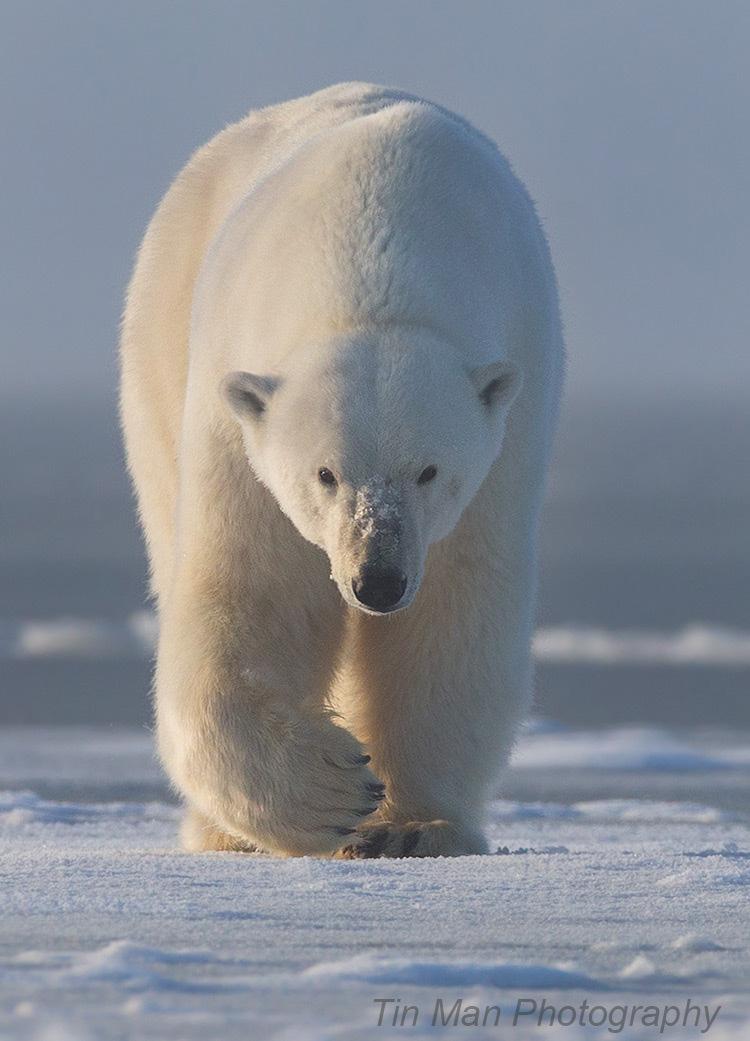 polar bear tin man lee