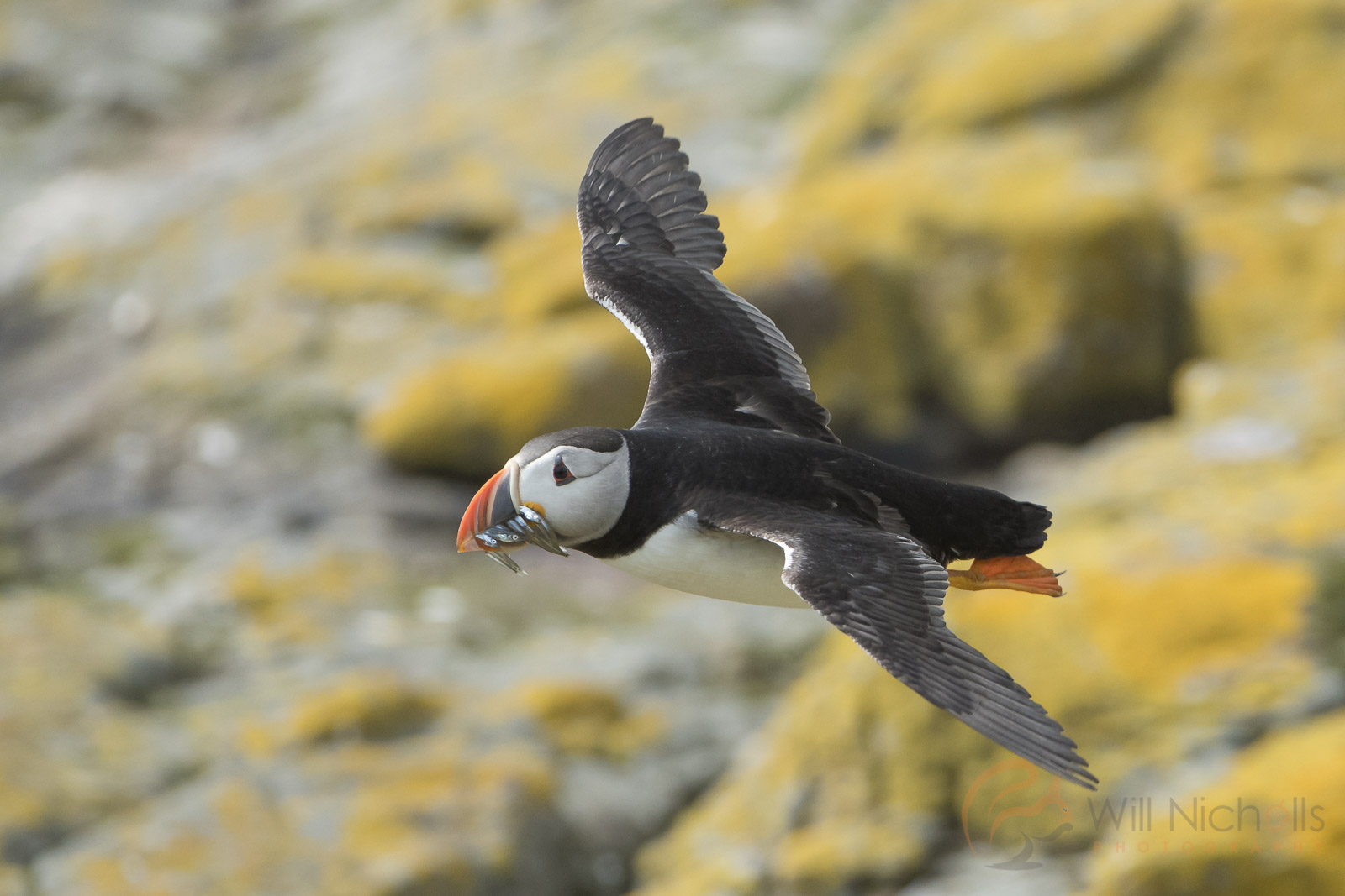 puffin flight tips
