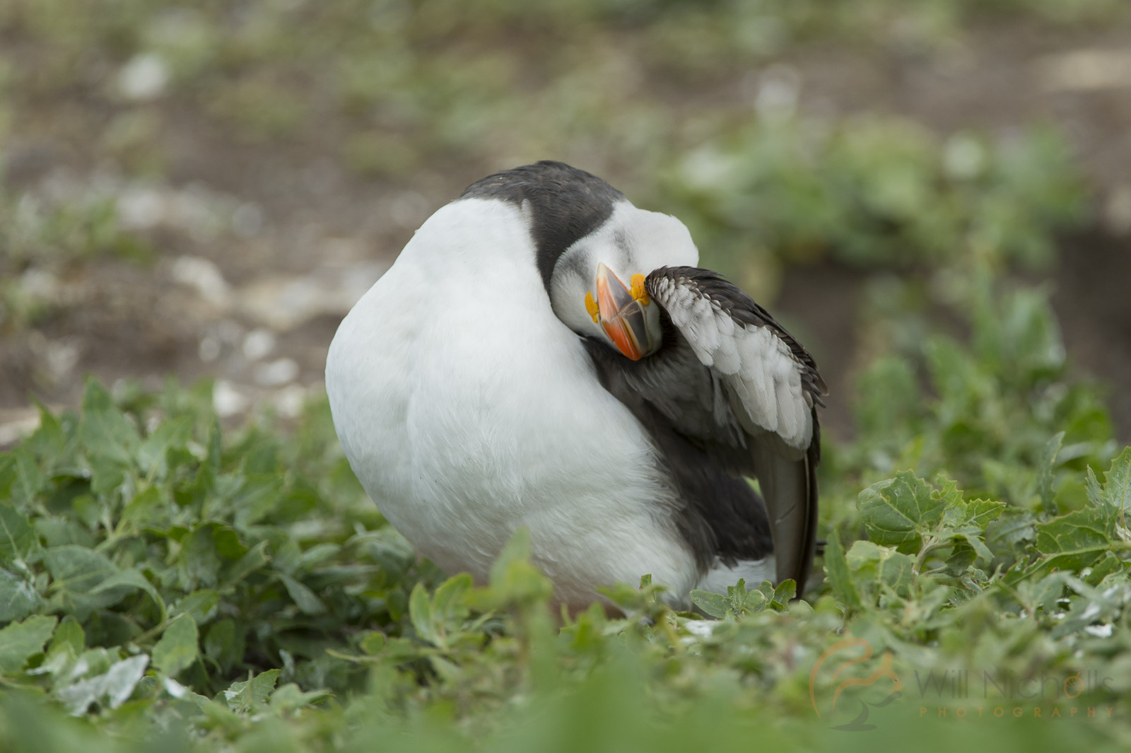 how to photograph puffins