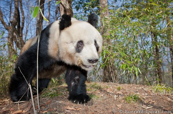 Curious Panda