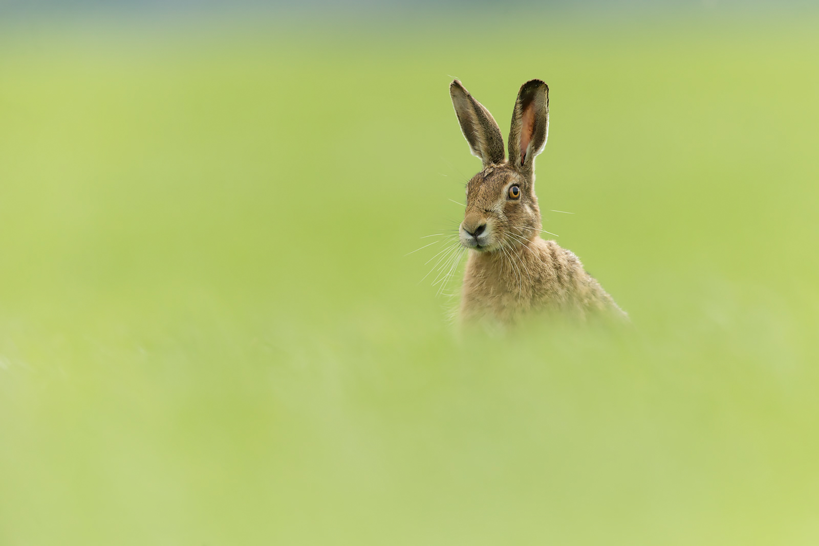 brown hare wide aperture