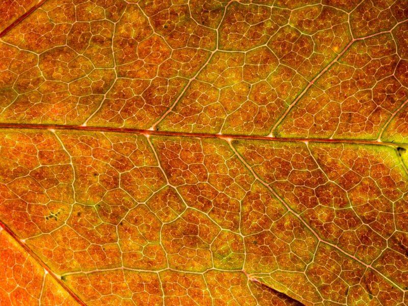 backlit-autumn-leaves-alan-hewitt-3
