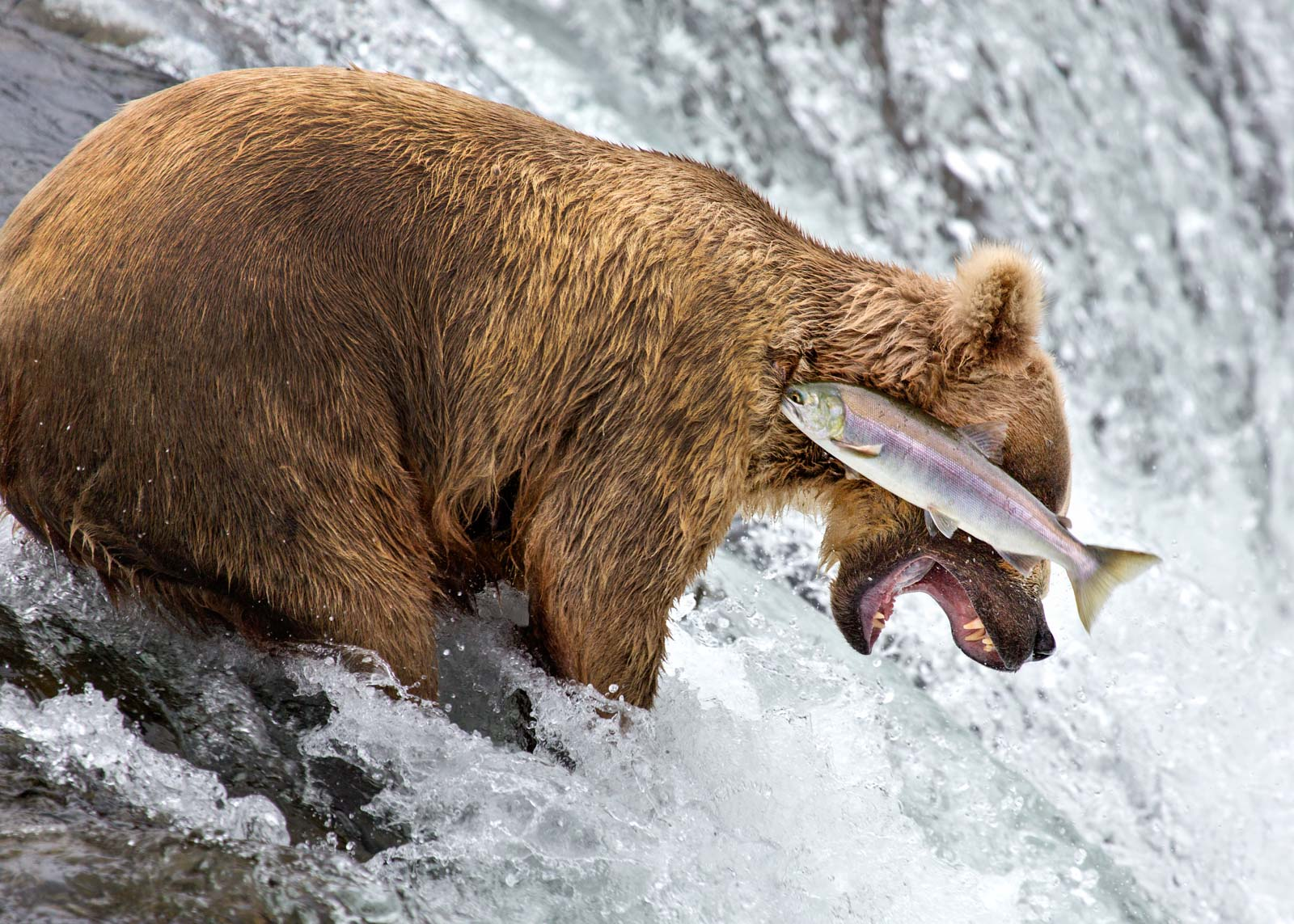 Rob Kroenert's brilliant photo of a bear's near miss catching a fish was Highly Commended this year.