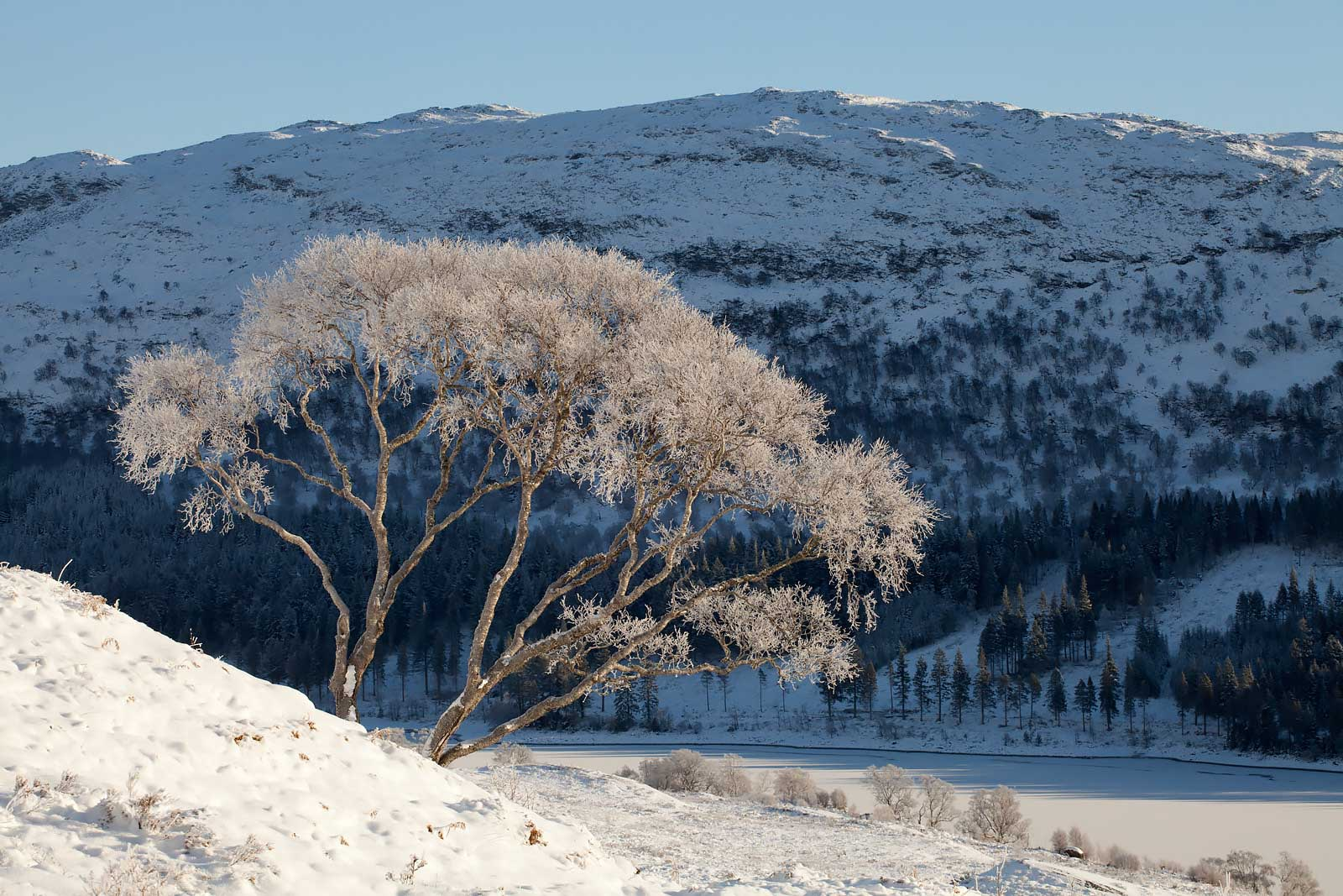 Silver birch (Betula pendula) coated in hoar frost, Creag Meagaidh NNR, Scotland, UK