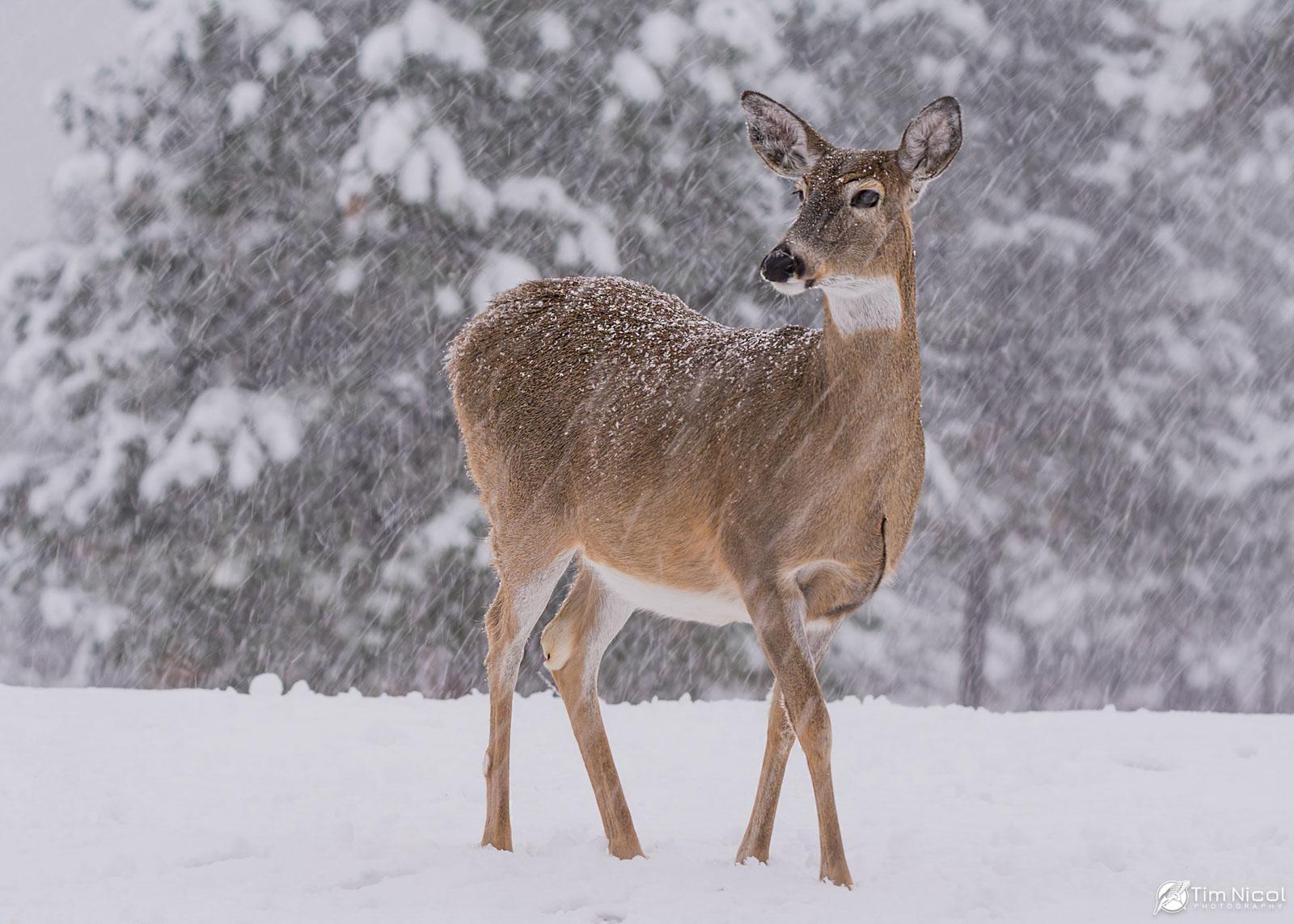 deer by Tim J Nicol
