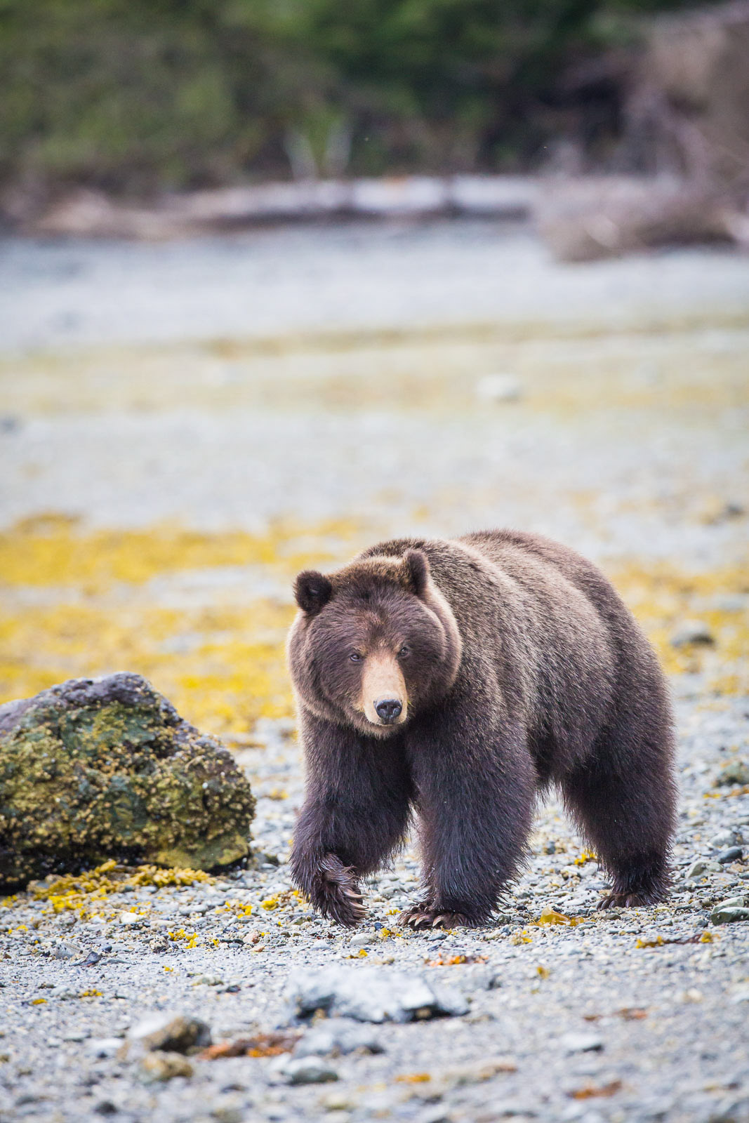 alaska brown bear photography