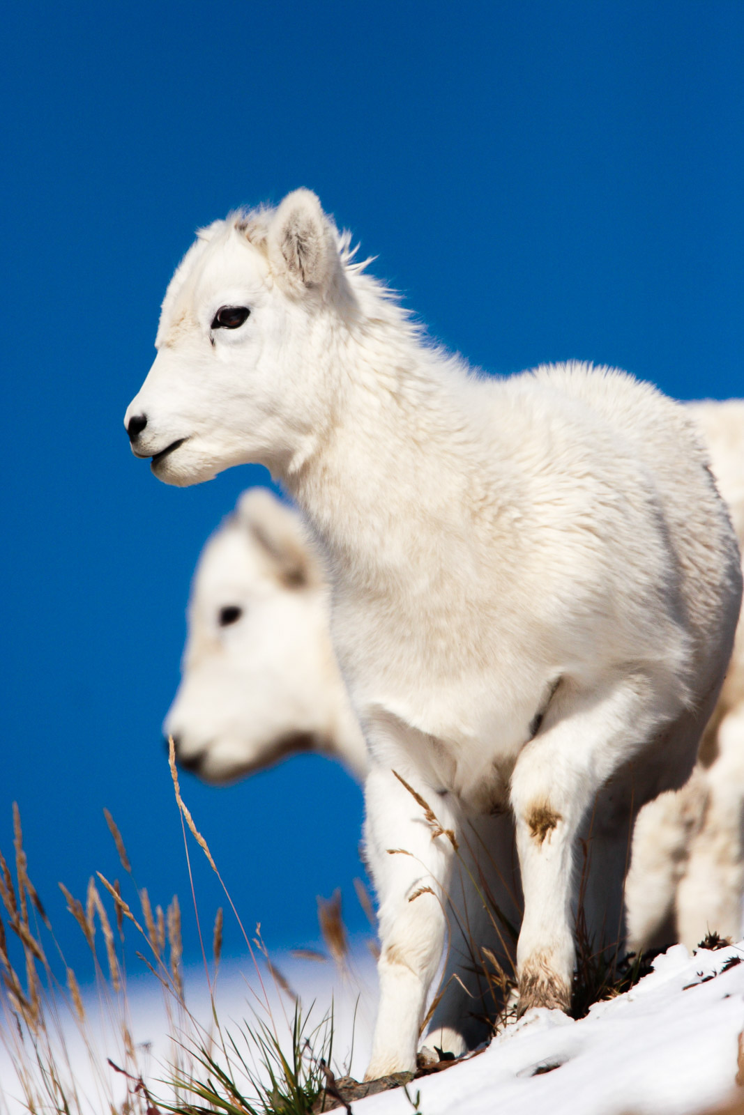 dall sheep lambs alaska