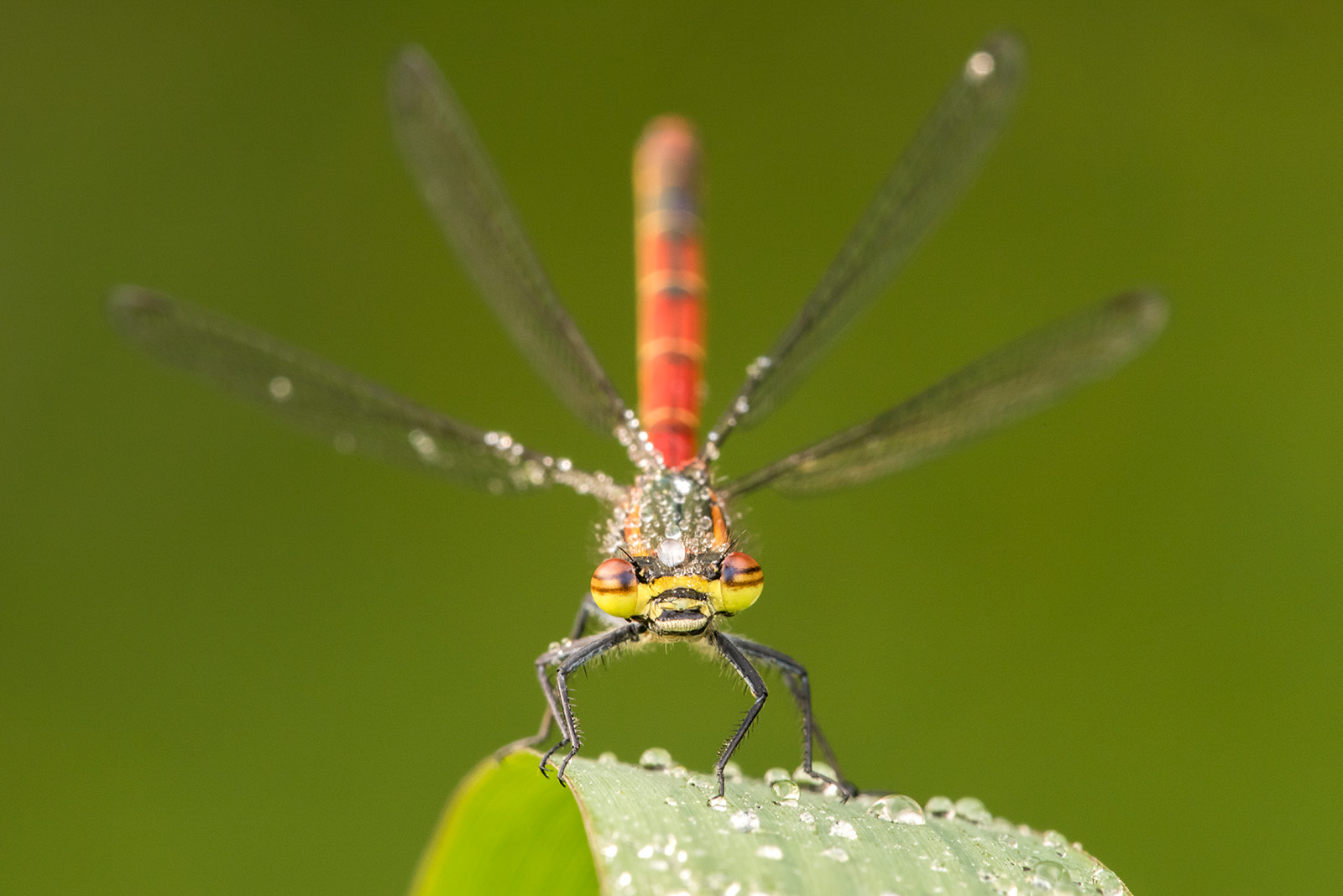 how to photograph damselflies