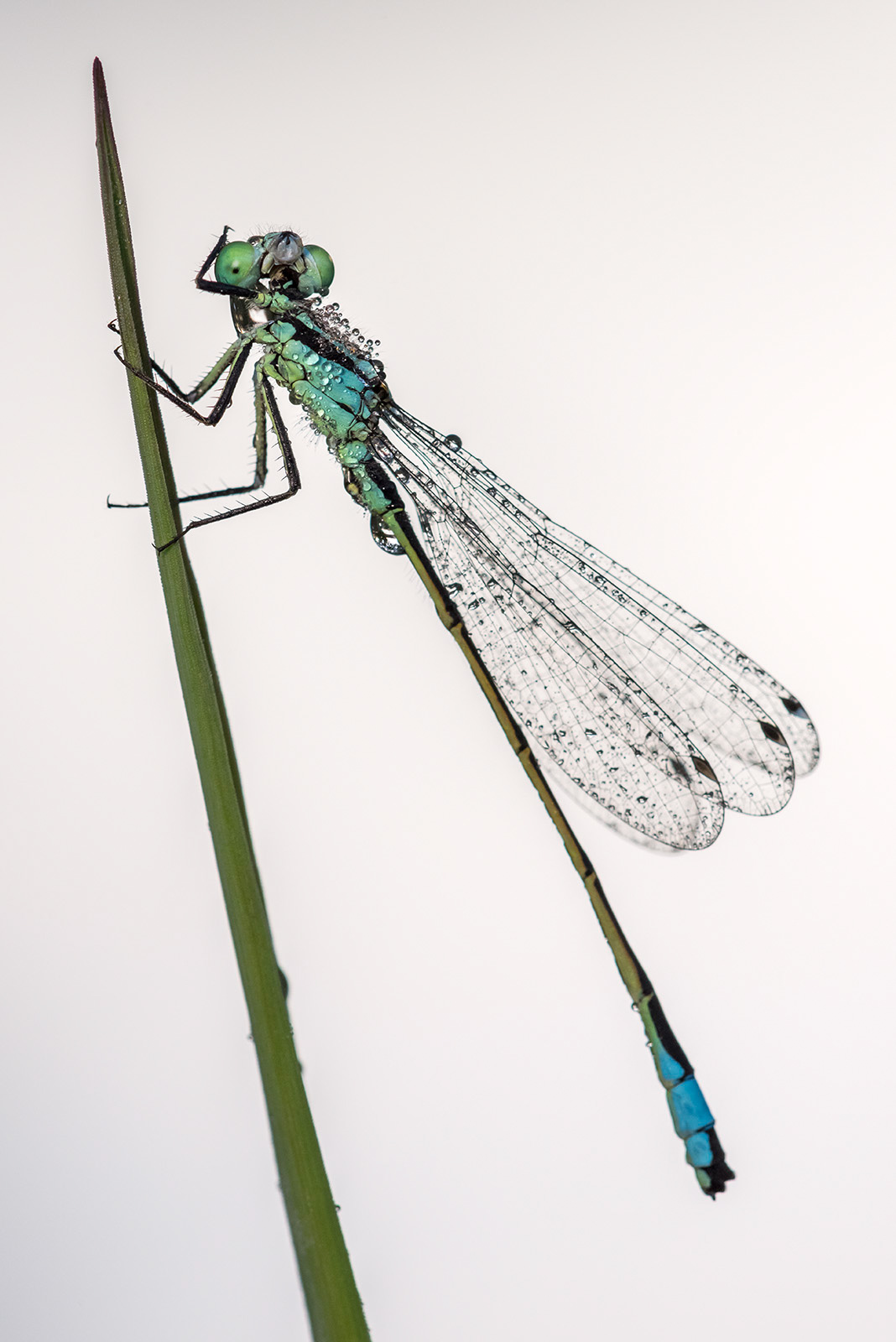 tips to photograph damselflies