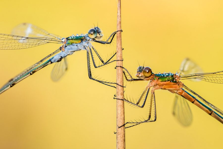 how to photograph dragonflies