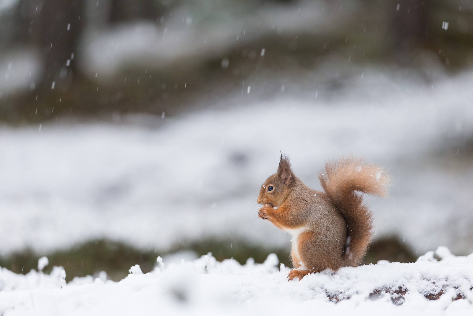Sigma 500mm f/4 DG OS HSM Sport Lens - Sample image of red squirrel.