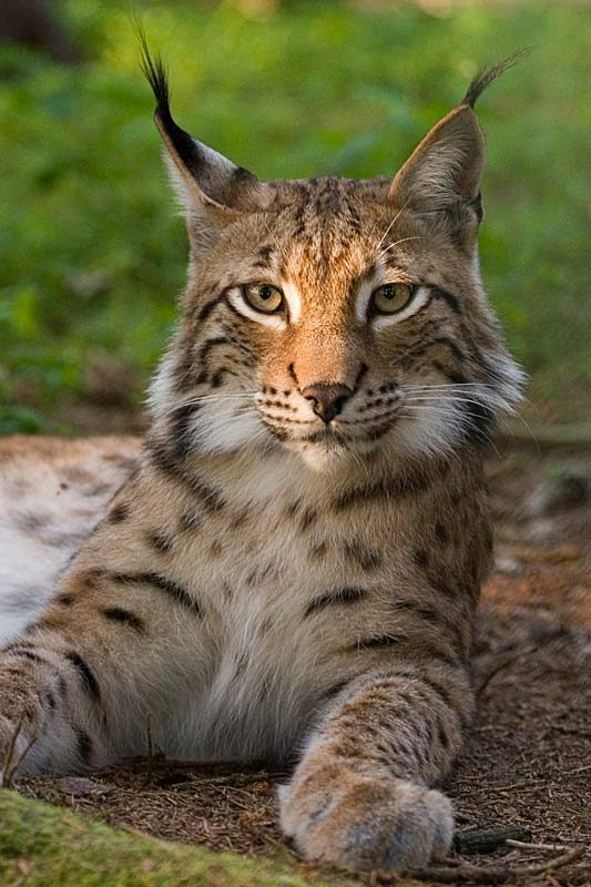 lynx conservation peter cooper