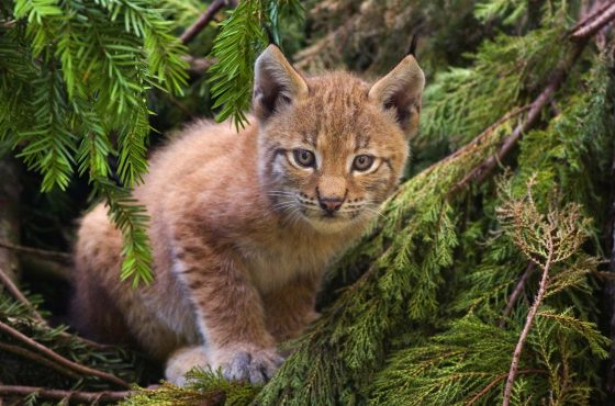 lynx-conservation